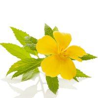 la fleur de Damiana, une plante aphrodisiaque